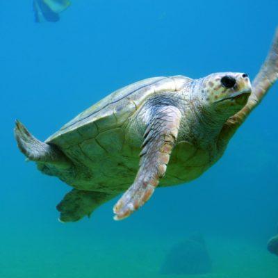 Tanzánská želva plovoucí ve vodě