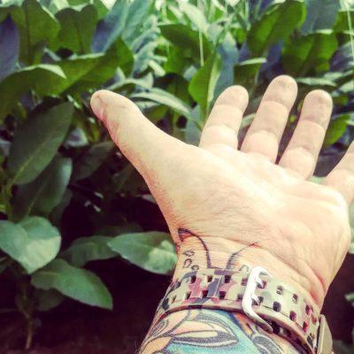 tabákové plantáže na Kubě