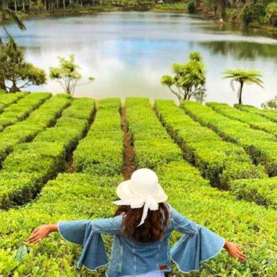 Čajová plantáž na Mauriciu