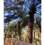 Datlové palmy v Emirátech