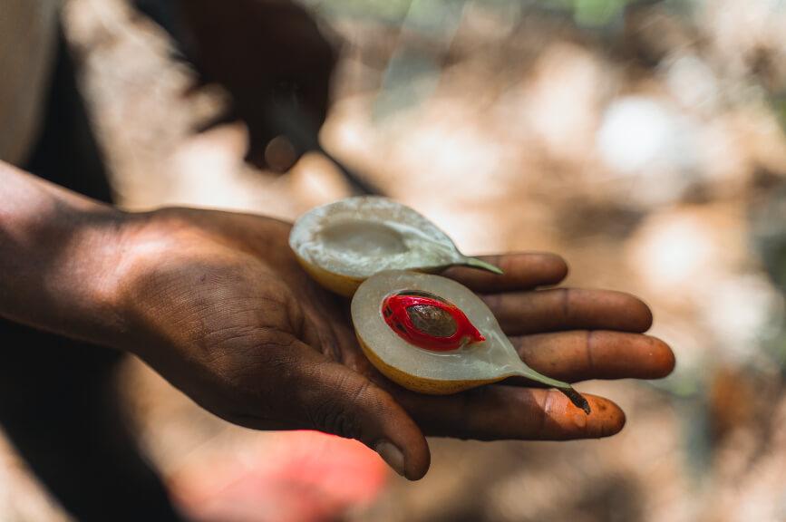 Muškátový oříšek na farmě s kořením na Zanzibaru