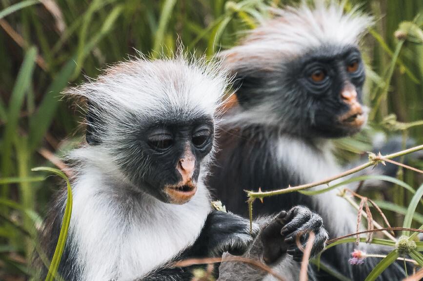 Opice Red Colobus na Zanzibaru